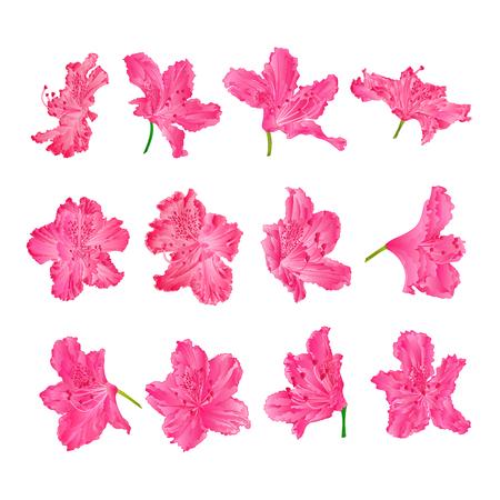 Różowe kwiaty rododendrony krzew górski na białym tle vintage wektor ilustracja edytowalne ręcznie rysować Ilustracje wektorowe