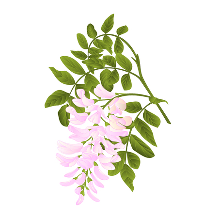 Locust tree twig with leaves and flowers vintage vector illustration editabe hand draw