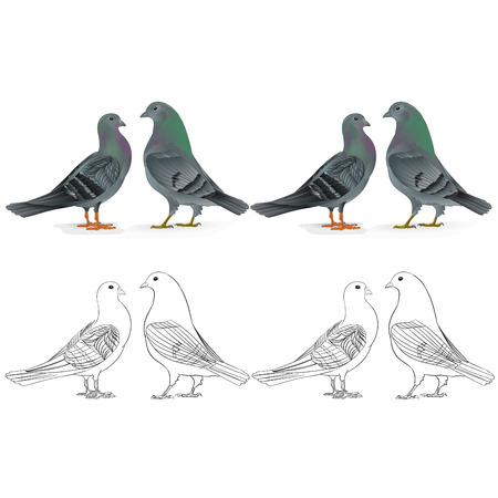 Border pigeons Carriers  domestic breeds sports birds natural and outline  vintage  set two vector  animals illustration for design editable hand draw
