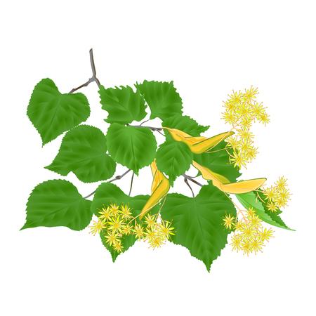 Ramo Tilia-Linden tvig con foglie con fiori di tiglio su sfondo bianco illustrazione vettoriale vintage editabe mano disegnare