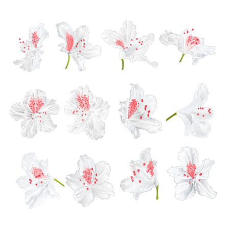 White flowers rhododendrons mountain shrub on a white background vintage vector illustration editable hand draw