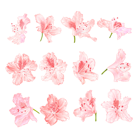 Pink light flowers rhododendrons mountain shrub on a white background
