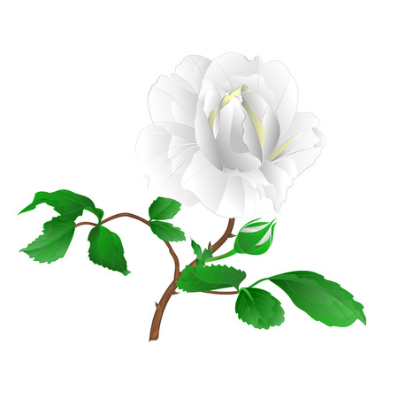 Rose flower white twig with leaves and bud on a white background vintage vector editable illustration hand draw
