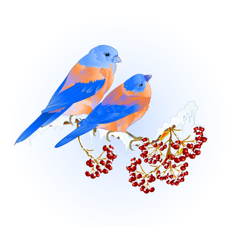 Birds thrush small Bluebirds  songbirdons on on snowy tree rowan and berry winter background vintage vector illustration editable hand draw