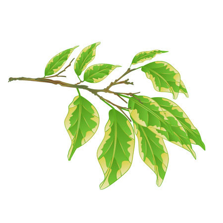 Tropical plant Ficus benjamina Variegated Ficus  branch on a white background vintage vector illustration  editable hand draw