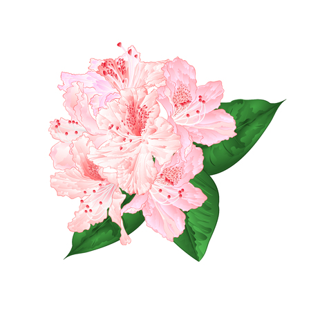 Flowers light pink rhododendron with leaves on a white background vintage vector illustration editable hand draw