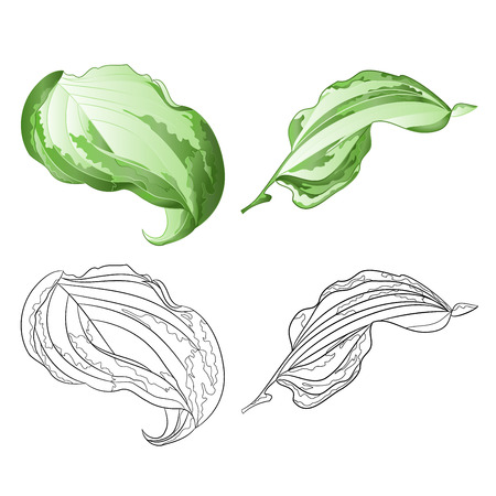 Variegated hosta Magic Fire, foliage plant perennial  bold leaves irregular cream  with green edged set first on a white background  vintage vector illustration editable Hand draw