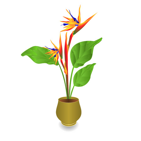 Beautiful Strelitzia reginae tropical flowers in pot isolated on white background vintage vector illustration editable hand draw