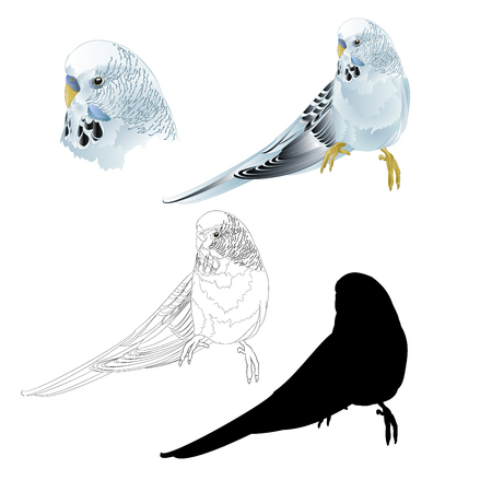 Budgerigar, blue pet parakeet  or budgie or shell parakeet home pet natural and outline and silhouetteon a white background vintage vector illustration editable hand draw