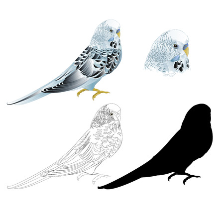 Bird Budgerigar parakeet blue pet parakeet  or budgie or shell parakeet home pet natural and outline and silhouette on a white background vintage vector illustration editable hand draw
