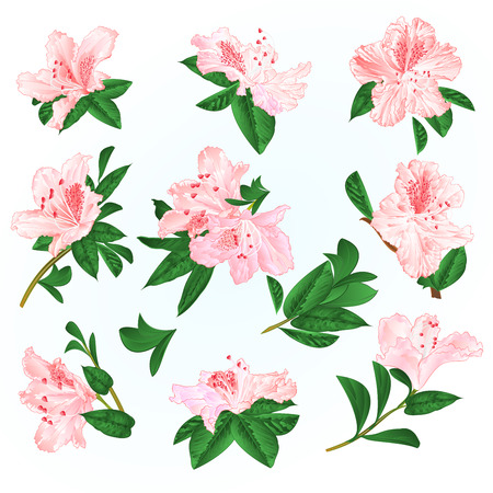 Light pink flowers rhododendrons and leaves mountain shrub on a blue background vintage vector illustration editable hand draw