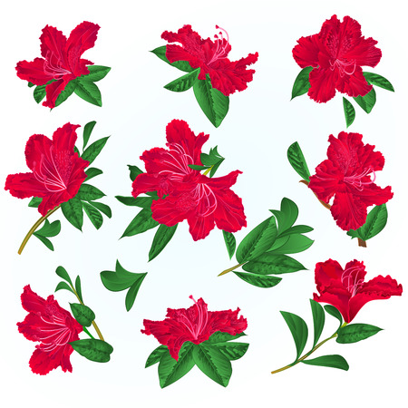Red flowers rhododendrons and leaves mountain shrub on a blue background vintage vector illustration editable hand draw