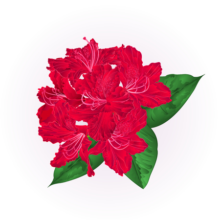 Flowers red rhododendron with leaves on a white background vintage vector illustration editable hand draw