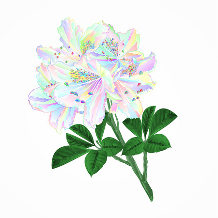 Flowers multicolored twig rhododendrons mountain shrub on a white background vintage vector illustration editable hand draw Vector Illustration