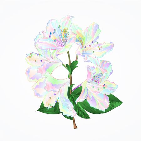 Rhododendron branch flowers colorful mountain shrub on a white background vintage vector illustration editable hand draw