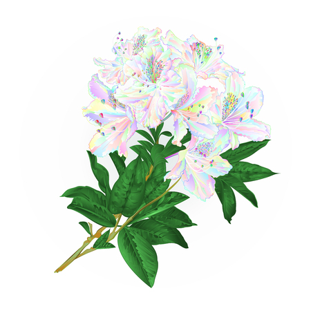 Branch colorful Rhododendron branch flowers mountain shrub on a white background vintage vector illustration editable hand draw