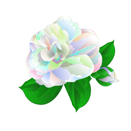 Flower Camellia Japonica  with leaves multicolored  flower Camellia Japonica  with buds on a white background vintage vector illustration editable  hand draw Stock Illustratie