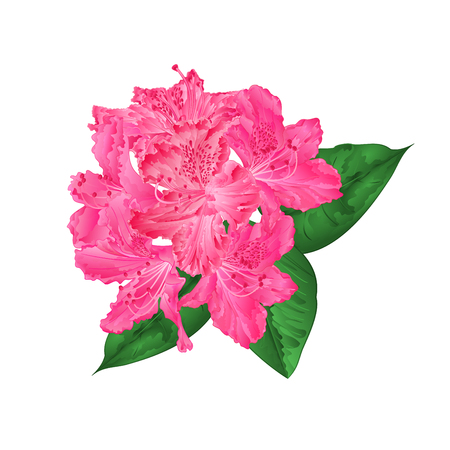 Flowers pink rhododendron   with  leaves on a white background vintage  vector illustration editable hand draw