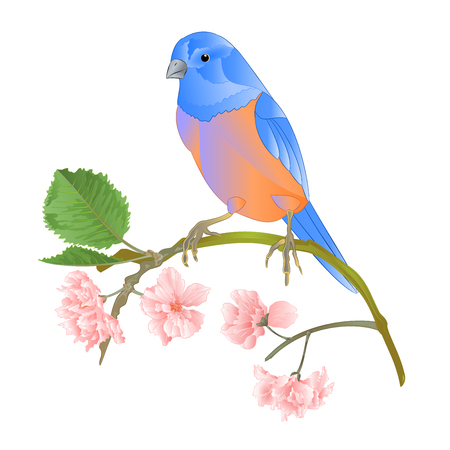 Bird Bluebird  thrush small songbirdons on a sakura branch on a white background spring background vintage vector illustration editable hand draw