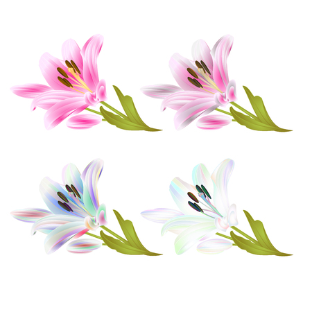 Stem Lily flowers multi colored and pink Lilium candidum, on a white background vintage vector illustration editable Hand draw