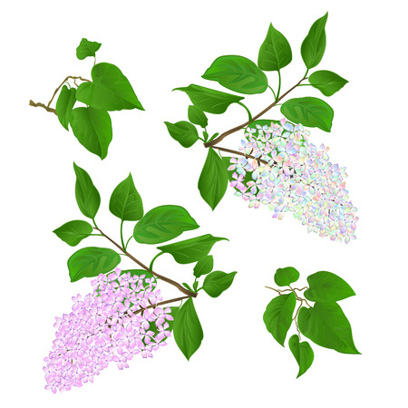 Twigs Lilac multicolored and light pink with flowers and leaves on a white background vintage vector illustration hand draw editable