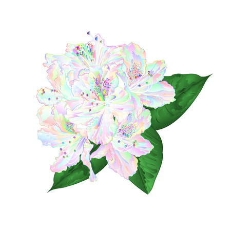 Flowers multi colored rhododendron   with  leaves on a white background vintage  vector illustration editable hand draw