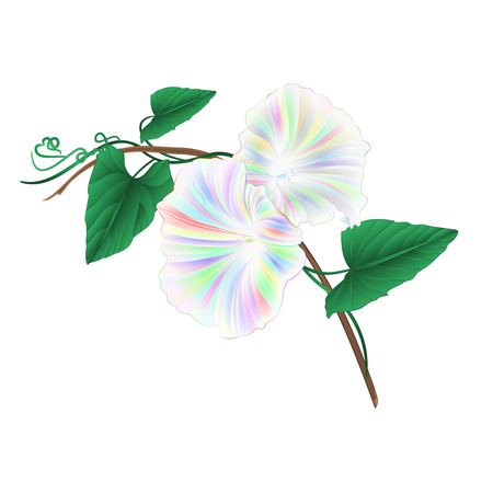 Morning glory multi colored spring flower watercolor on a white background vintage vector illustration editable Hand draw