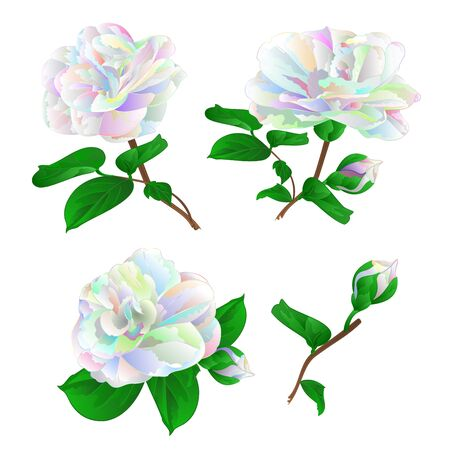 Multicolored  flower Camellia Japonica  with buds set on a white background vintage vector illustration editable  hand draw