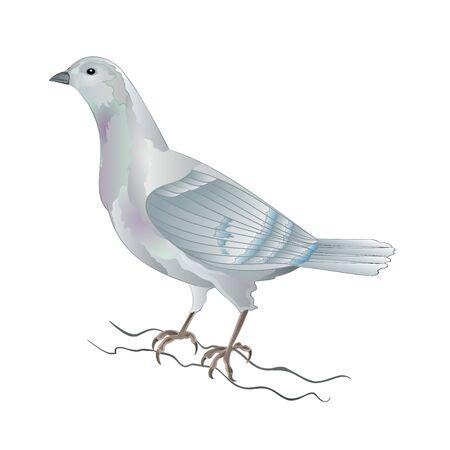 Dove white pigeon breeding bird domestic breeds sports bird on white background vintage vector animals illustration for design editable hand draw Vektorové ilustrace