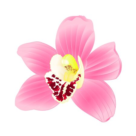Tropical Orchid Cymbidium pink flower realistic on white background vintage vector illustration editable hand draw