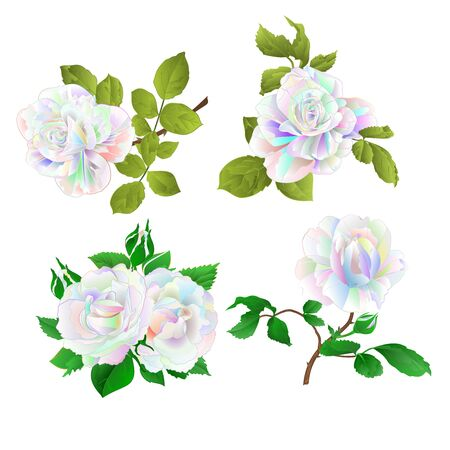 Wielobarwna róża i pąki na białym tle zestaw trzy vintage wektor ilustracja botaniczna edytowalne ręcznie rysować Ilustracje wektorowe