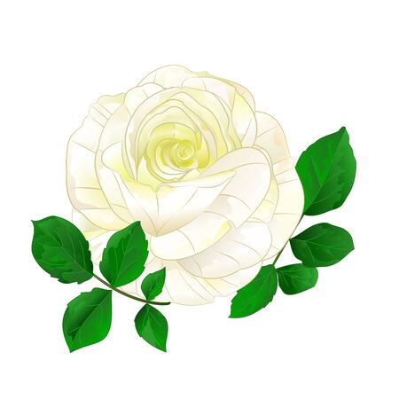White rose simple stem with leaves  vintage on a white background vintage vector illustration  hand draw Foto de archivo - 128184085