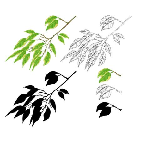 Tropical plant Ficus benjamina Variegated Ficus  branch natural and silhouette  and outline  on a white background vintage vector illustration  editable hand draw Foto de archivo - 128184102