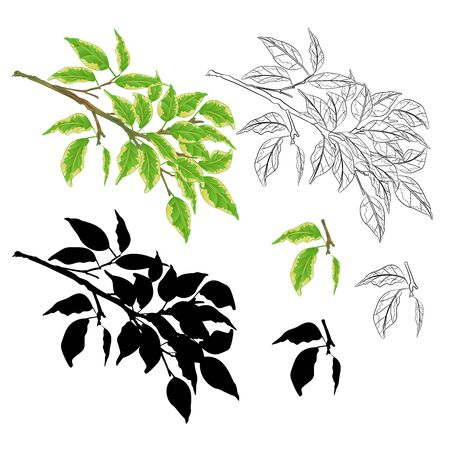 Tvig tropical plant  Ficus benjamina Variegated Ficus  natural and outline and silhouette on a white background vintage vector illustration  editable hand draw Иллюстрация