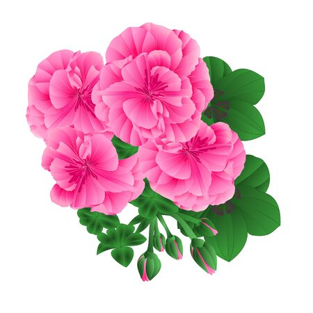 Pelargonium Geranium pink flowers and buds whit leaves  on white background elements for design watercolor vintage vector illustration editable Hand draw