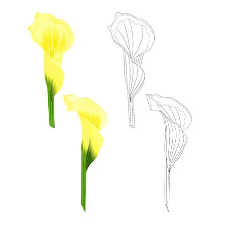 Calla lily yellow flowers   herbaceous perennial ornamental plants natural and outline  set on a white background  vintage  vector illustration editable hand draw