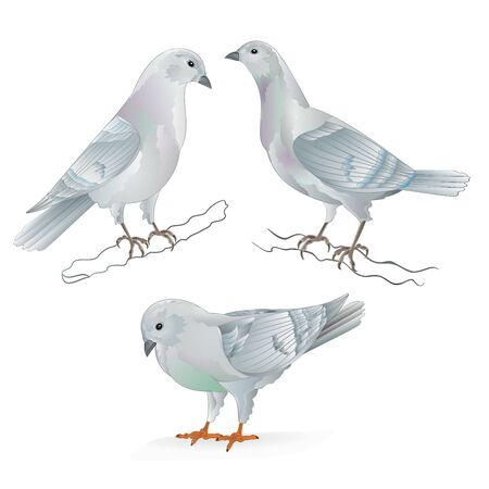 White Carriers pigeons domestic breeds sports birds vintage  set two vector  animals illustration for design hand draw