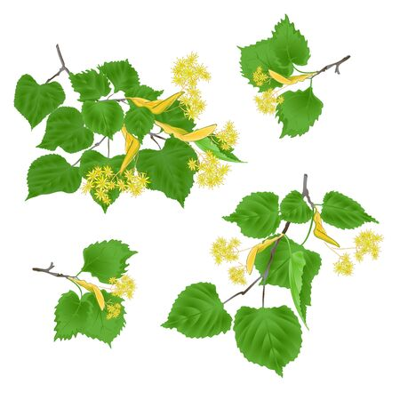 Tilia-Linden tvigs with leaves with Linden flowers set on white background vintage vector illustration editabe hand draw Stock Illustratie