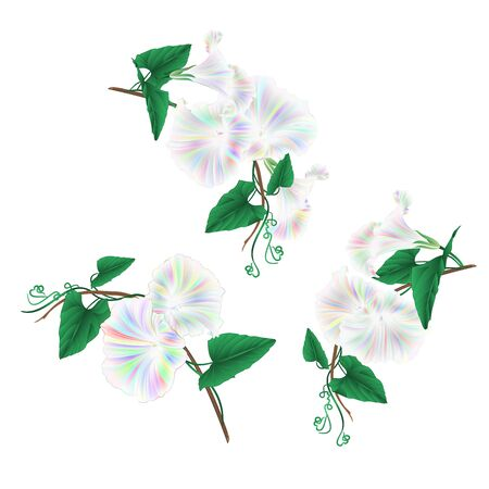 Morning glory multi colored spring flowers watercolor set on a white background vintage vector illustration editable Hand draw Illustration