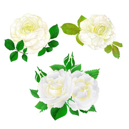 White roses with buds and leaves vintage on a white background set five vector illustration editable hand draw