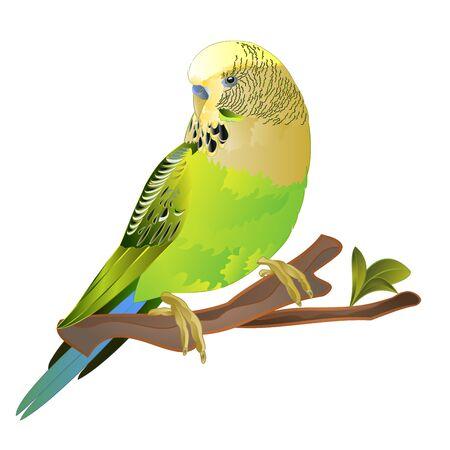 Green parakeet Budgerigar, home pet , pet parakeet  or budgie or shell parakeet  on a white background vintage vector illustration editable hand draw