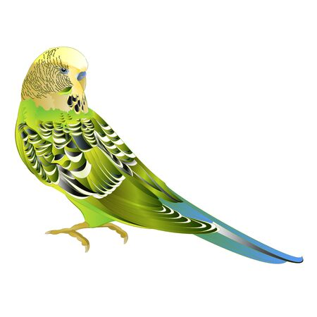 Green parakeet Budgerigar, home pet , pet parakeet  or budgie or shell parakeet  on a white background watercolor vintage vector illustration editable hand draw Stock Illustratie