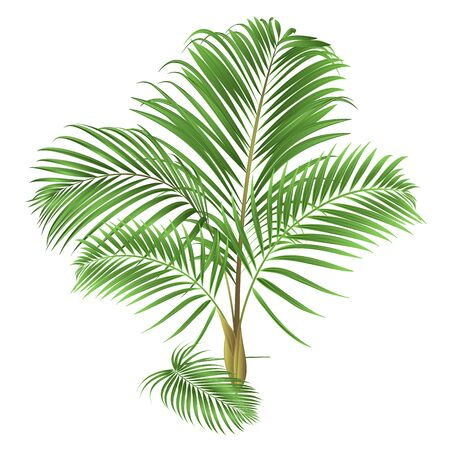 Decoration palm house plant  tropical plant natural on a white background watercolor vintage vector illustration editable hand drawn