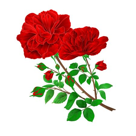 Bouquet of red   roses and rosebuds festive white background watercolor vintage vector botanical illustration editable hand draw