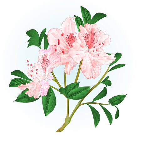 Shrub light pink rhododendron twig with flowers and leaves watercolor vintage hand draw vector illustration