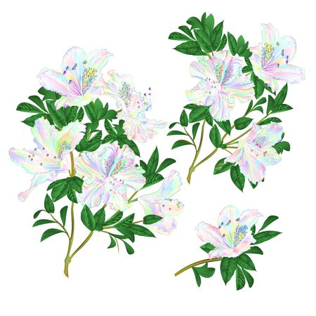 Colored flowers rhododendron twigs with leaves mountain shrub set one on a white background vintage vector illustration editable hand draw Illusztráció