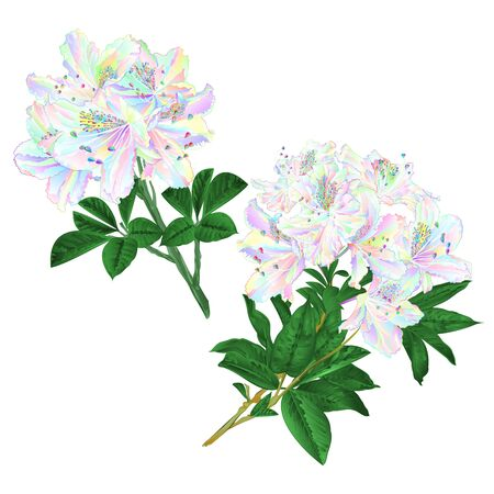 Branches colorful Rhododendron branch flowers mountain shrub on a white background set three vintage vector illustration editable hand draw
