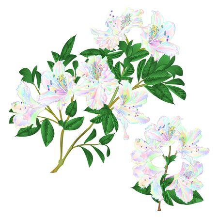 Branches colorful Rhododendron branch flowers mountain shrub on a white background set five vintage vector illustration editable hand draw