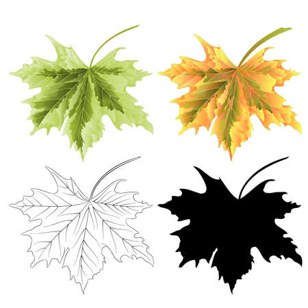 Four Colored leaves Maple  the green natural outline and silhouette  vintage vector botanical illustration editable hand draw