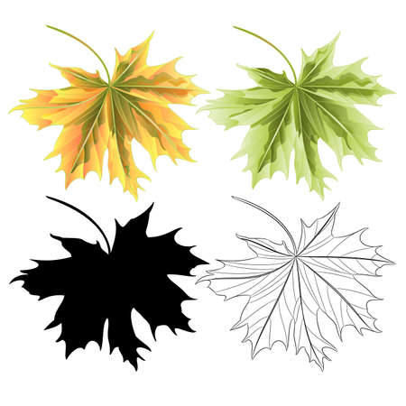 Colored leaves Maple  green red  natural outline and silhouette botanical vintage vector  illustration editable hand draw